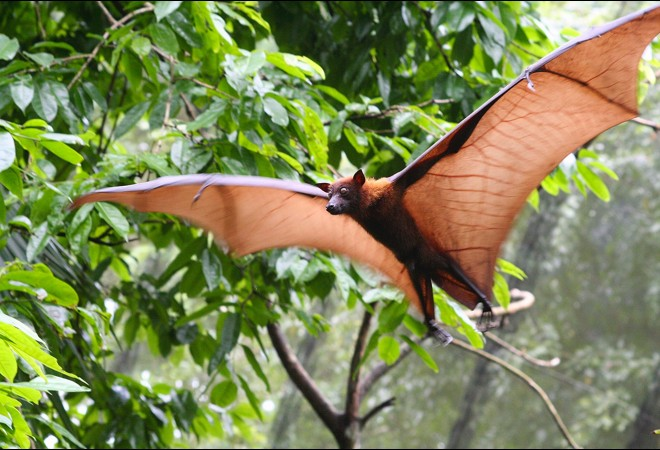 fruitbat-flyingjungle-1_thumb.jpg